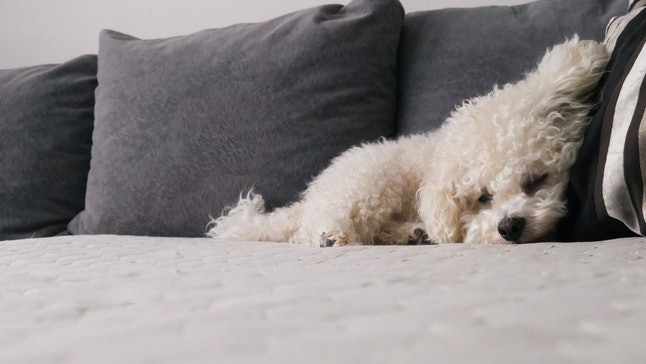 Bichon Frise Dog sleeping on a pillow of a bed