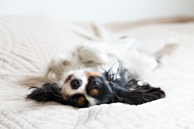 cute dog lying on the bed and resting