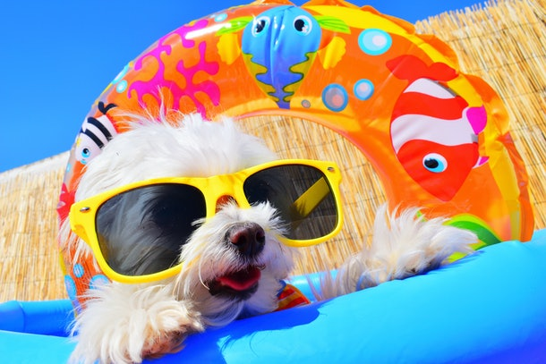 funny dog puppy with sunglasses in the pool