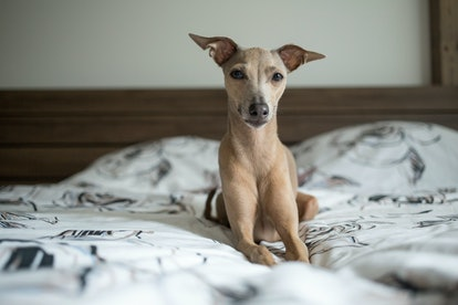 Brown dog Italian greyhound lying in bed with white bedding