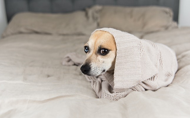 Cute Sand Colored Rat Terrier Mix Dog with Different Colored Eyes Relaxing on Linen Blanket