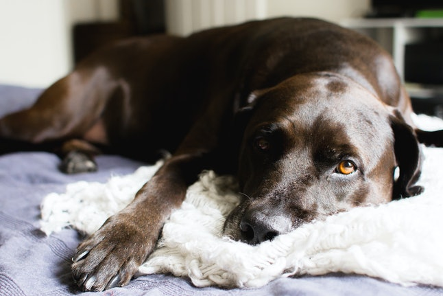 Front facing view of a black/brown adult labrador retriever laying on a bed and cuddling with white and blue blankets while looking straight ahead