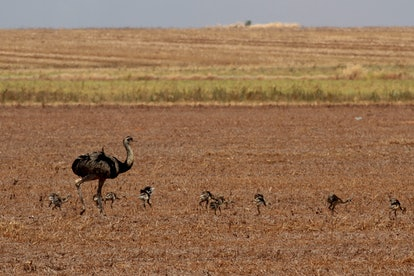 Ostriches are seen at a farm in the Cerrado ecosystem, outskirts of Brasilia, Brazil, . According to...