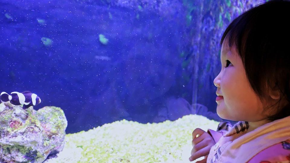 A girl watches the clown fish in the tank in an Aquarium.