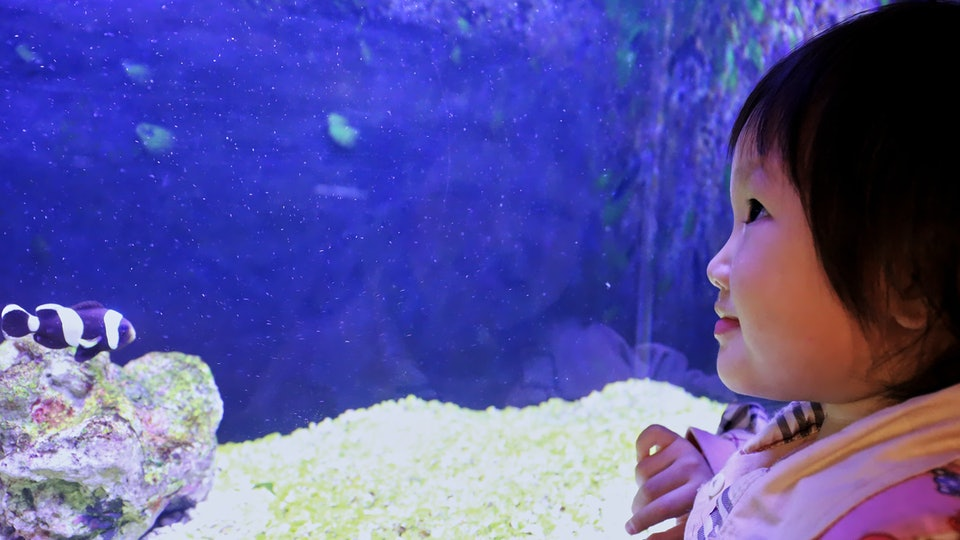 A girl watches the clown fish in the tank in an Aquarium.