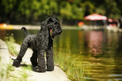 kerry blue terrier. dog show stand on the background of the lake in the Park