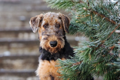 beautiful airedale terrier puppy posing outdoors