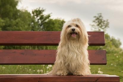 havanese dog sitting on a bench