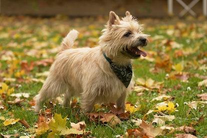 Cairn Terrier plays in the garden