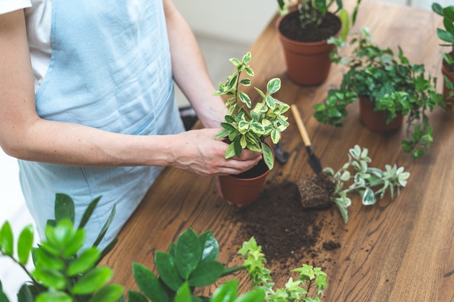 High angle view of young gardener woman replant plant in new brown pot standing behind wooden table at home