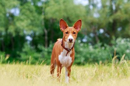 Beautiful dog breed Basenji in the park