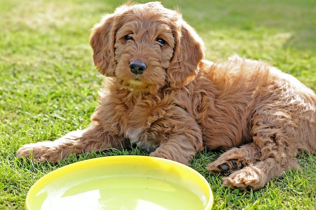 Labradoodle On Grass With Frisbee
