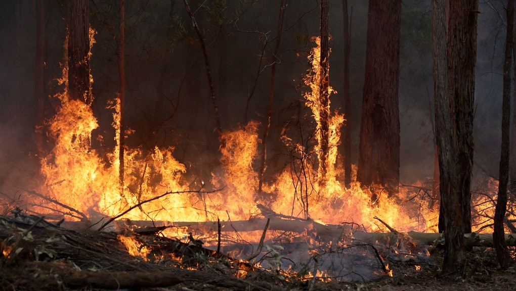 Flames from a controlled fire burn up tree trunks as firefighters work at building a containment line at a wildfire near Bodalla, Australia, . Authorities are using relatively benign conditions forecast in southeast Australia for a week or more to consolidate containment lines around scores of fires that are likely to burn for weeks without heavy rainfall