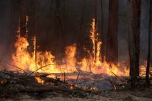 Flames from a controlled fire burn up tree trunks as firefighters work at building a containment lin...