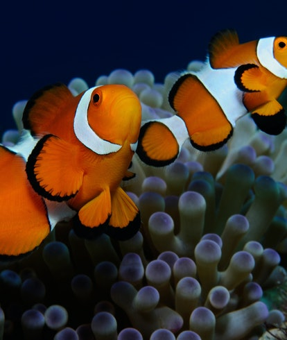 Couple of clownfish (Western clownfish (Ocellaris Clownfish, False Percula Clownfish)) are protecting their anemone, Panglao, Philippines