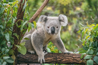 The koala population is especially being hurt by the Australia wildfires, but there are a few ways you can help them.