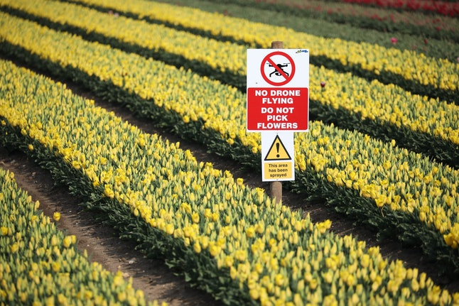 A warning sign against drone flying over a tulip crop near Kings Lynn, Norfolk