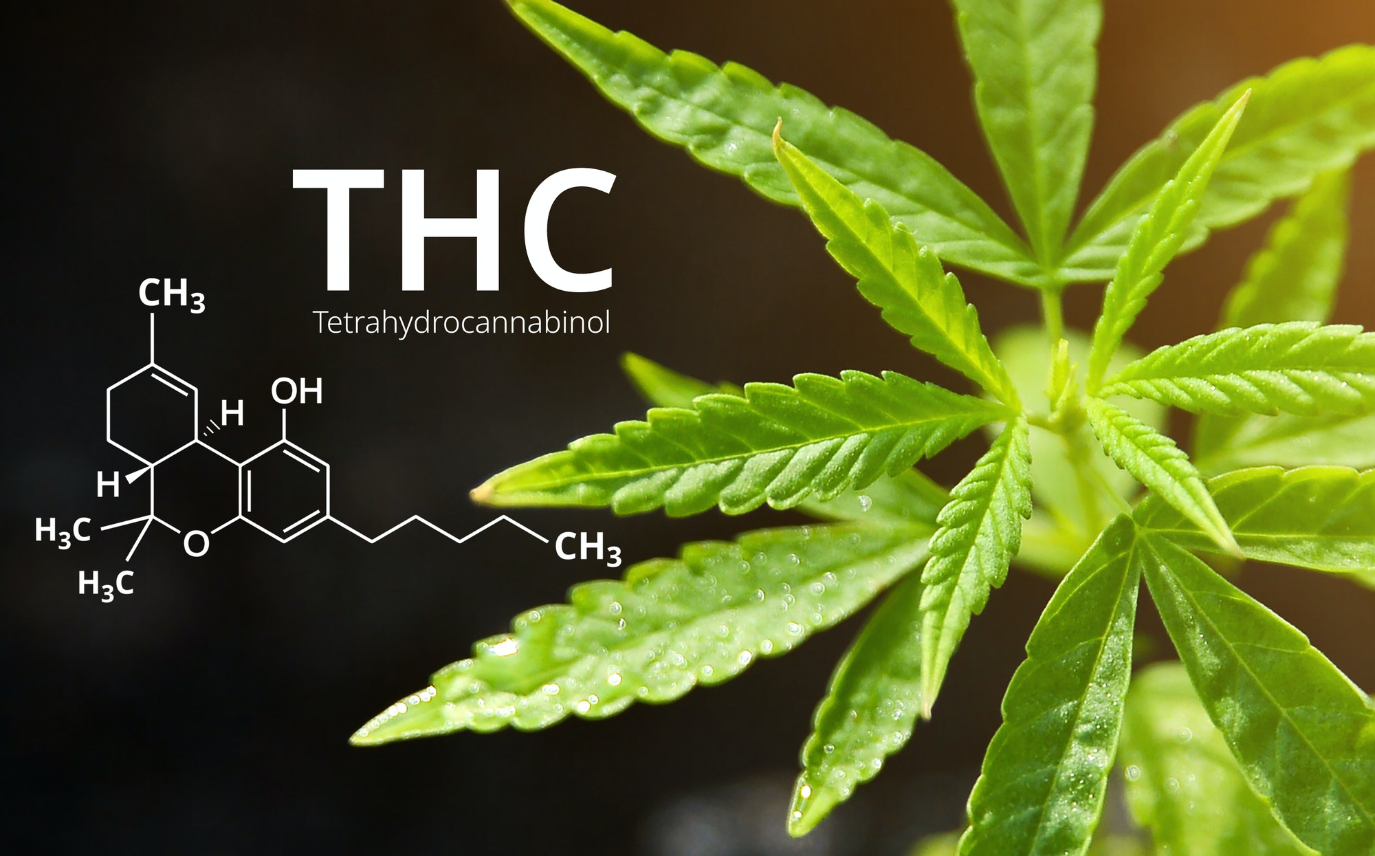 Tetrahydrocannabinol or THC molecule formula with Marijuana background, Cannabis sativa