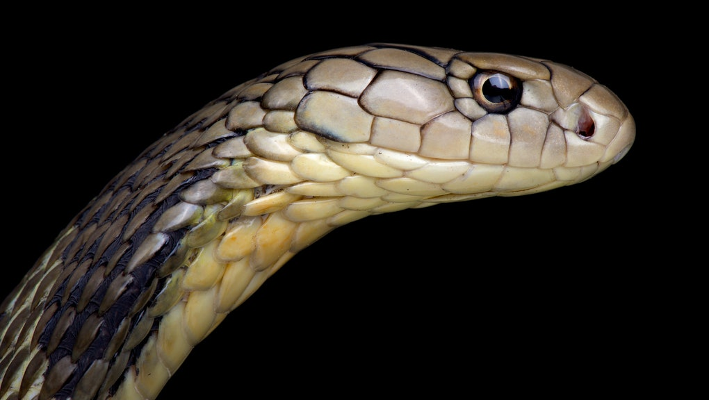 Chinese King cobra (Ophiophagus Hannah)