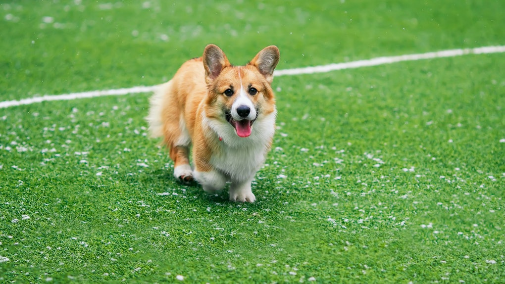 A corgi runs around on a green football field during the Puppy Bowl.