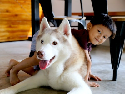 Siberian Husky playing with little boy in dining room. Dog with kid.