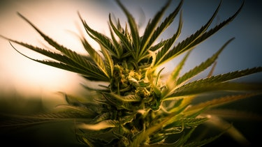 Flowering cannabis plant of the strain Diamond Zkittlez. Humboldt county