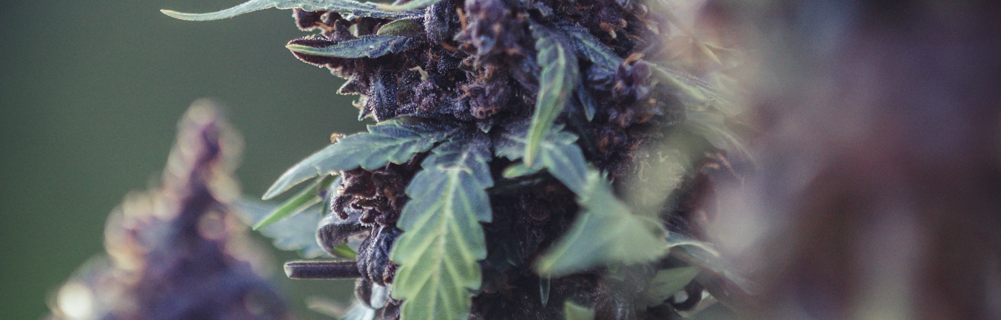 Cannabis flowers and seeds that are ready to harvest Modern medical marijuana concept, world marijuana day