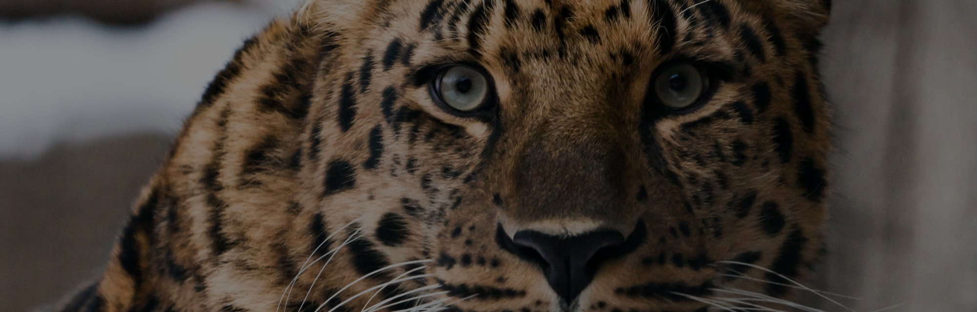 Muzzle of a Far Eastern leopard (Amur leopard) close-up, on a background of snow.
