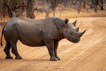 black rhino crossing a dirt road