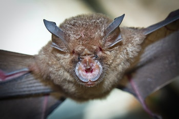 Intermediate Horseshoe Bat (Rhinolophus affinis),that live in caves Is a nocturnal animal Foul and dirty These bats are a collection of many diseases. And Colona virus.