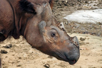 A rare, endangered Sumatran rhino