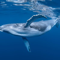 New acoustic data explains a crucial whale behavior