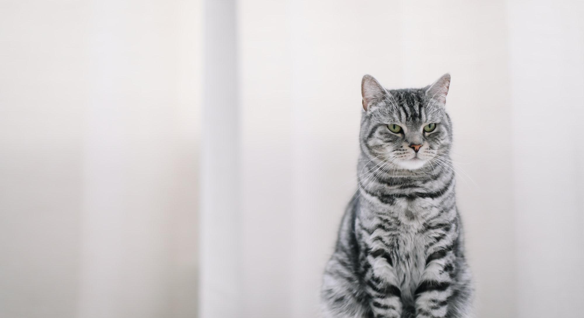 Home pet cute kitten cat at home. Cat Portrait. Cute cat indoor shooting. funny cat portrait. Cozy F...
