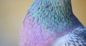 Rock dove or common pigeon or feral pigeon in Kelsey Park, Beckenham, Greater London. Close up of the head of a dove (pigeon) in Kelsey Park, Beckenham. Rock dove or common pigeon (Columba livia), UK.