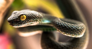 Close up of  Green pit viper (Poisonous Green Snake)