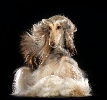 afghan hound glamour