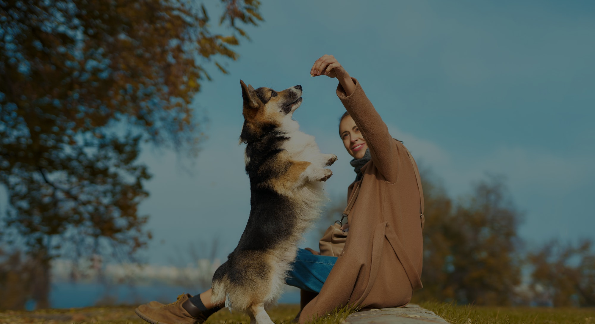 woman with dog on grass in autumn park, training Welsh Corgi dog outdoors. pet standing on hind paws and asking food. friendship dog and human, dog training