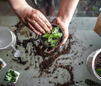 gardening home. Girl replanting green pasture in home garden.indoor garden,room with plants banner P...