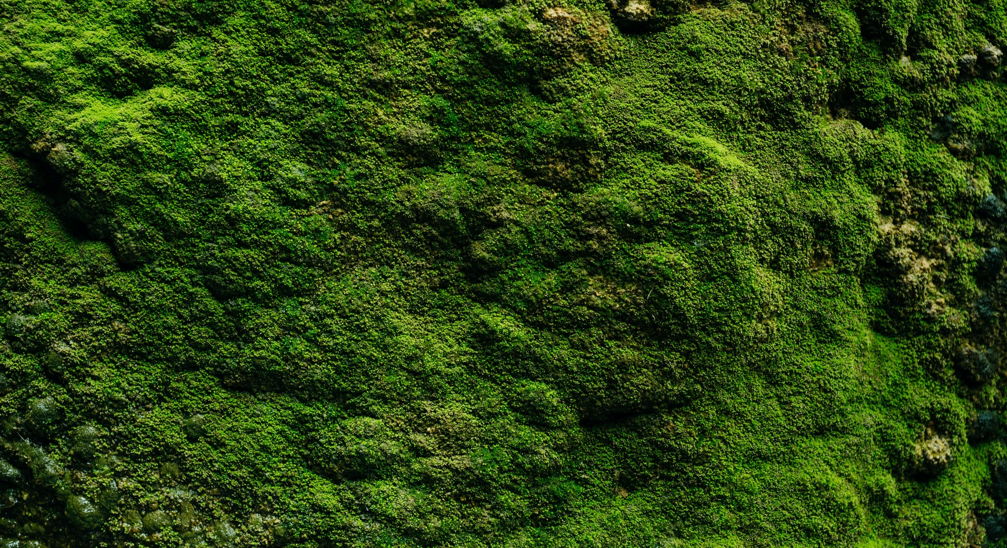 Beautiful green moss close up, Moss texture, Moss abstract background.