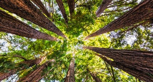 Looking up in a Coastal Redwood forest (Sequoia Sempervirens), converging tree trunks surrounded by evergreen foliage, Purisima Creek Redwoods Preserve, Santa Cruz Mountains, San Francisco bay area