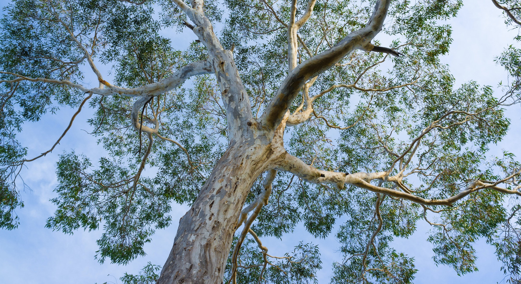 Canopy of big Australian Eucalyptus tree looking up at the sky