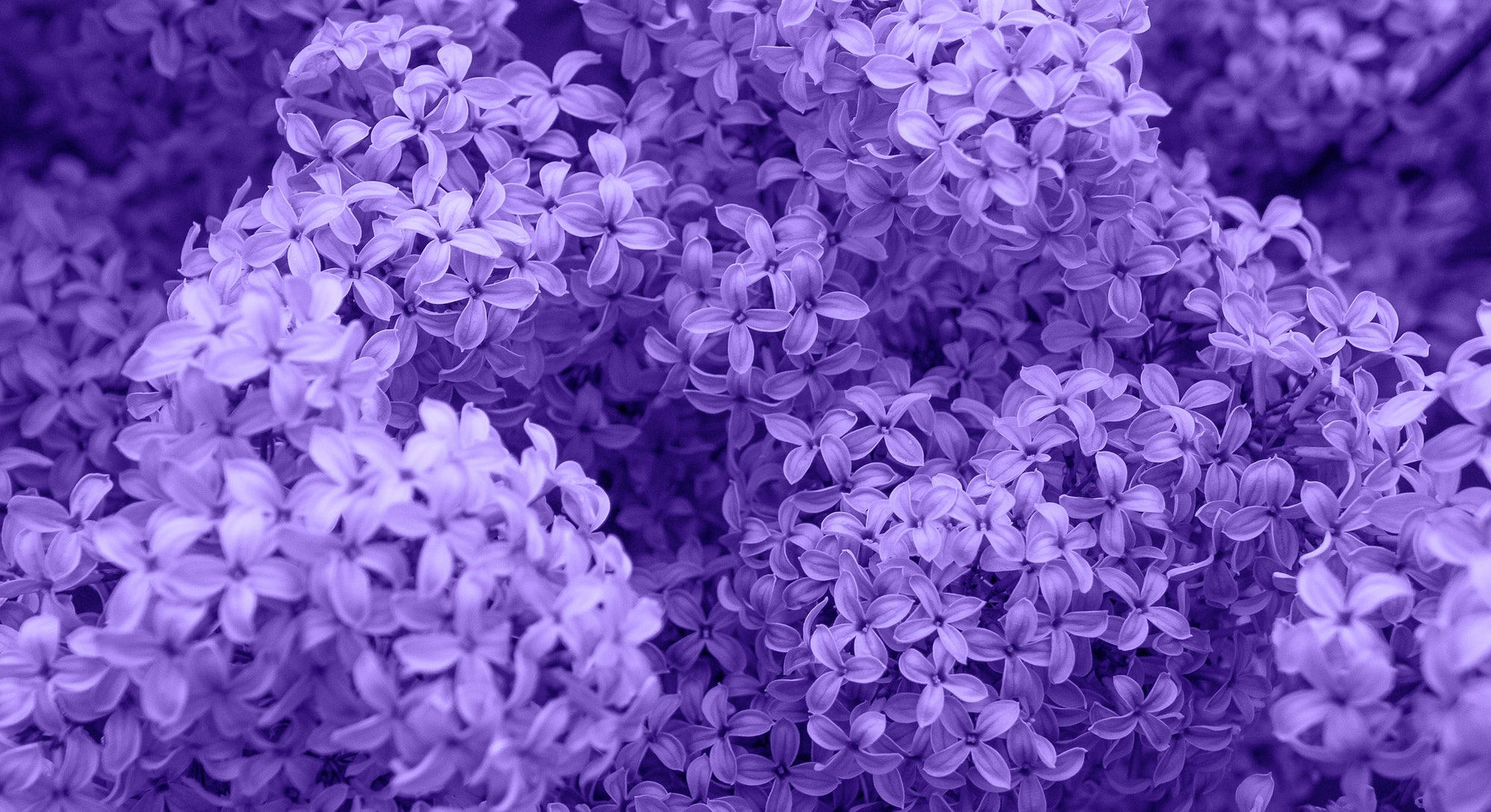 Beautiful lilac flowers. Spring blossom. Blooming lilac bush with tender tiny flower. Purple lilac flower on the bush. Summer time. Background