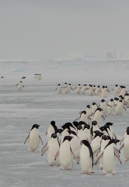 Annual migration of Adélie penguin in South Orkney Islands