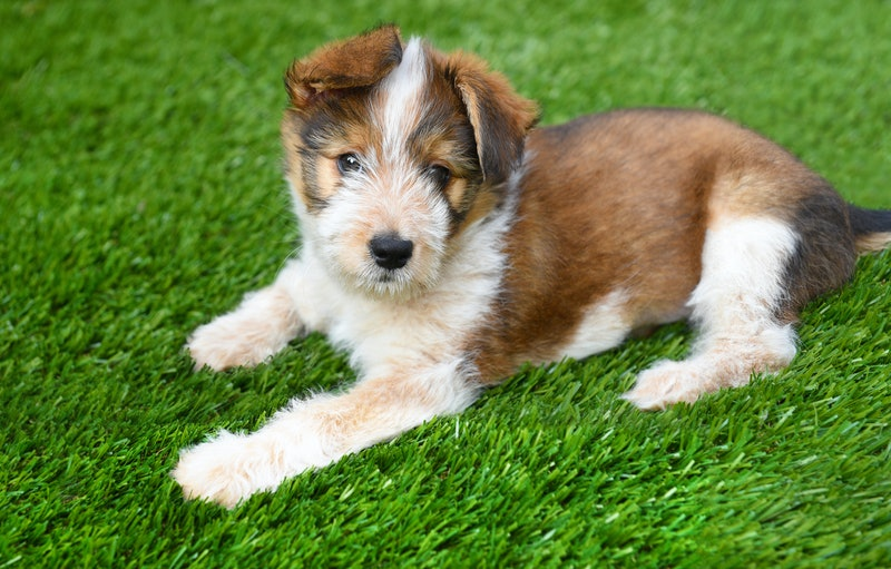 Mixed Breed Dog: Australian Shepherd Mix Breed Puppy laying on artificial grass surface.