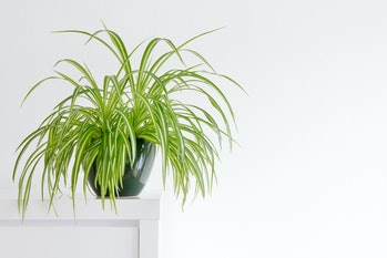 houseplant, Chlorophytum comosum in front of a light wall in a green pot