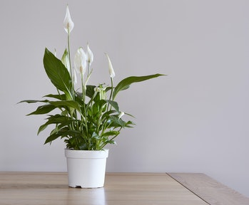 A pot of a peace lily houseplant on a dining table