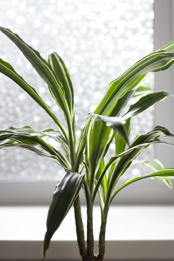 Dracaena Deremensis Warneckei potted plant near window close up