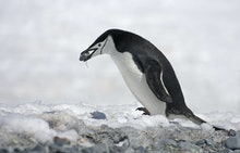 Chinstrap Penguin (Pygoscelis antarctica), adult, collecting pebble for nesting material, Antarctica
