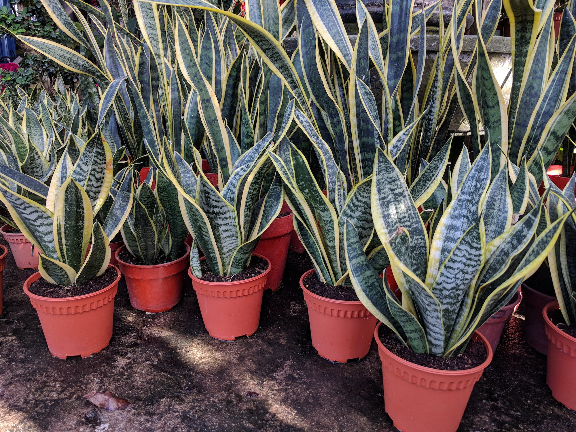 Pots of snake plant (Sansevieria trifasciata) for sale in a nursery