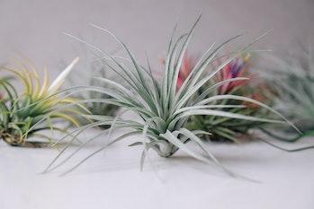 Tillandsia air plants